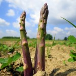 Asparagus, Santena